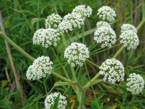 Болиголов - растение