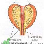 Предстательная железа в разрезе