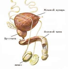prostatit-polovaja-sistema