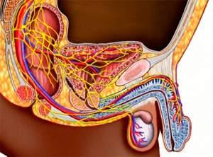 Анатомия потенции